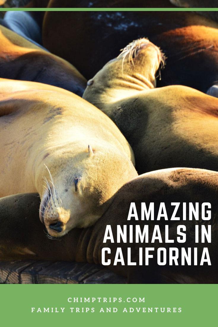 CHIMPTRIPS - Amazing animals in California