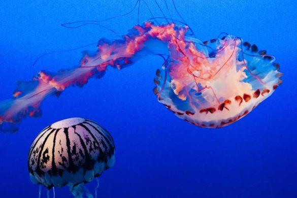 Jelly Fish at Monterey Aquarium, California
