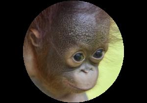 Image of Archie the baby orangutan (From SeSepilok Rehabilitation Centre in Borneo)