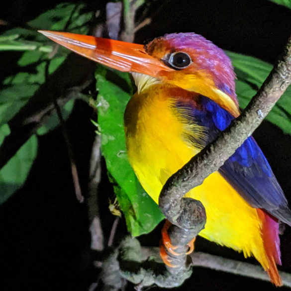 Borneo rainforest at night roosting kingfisher