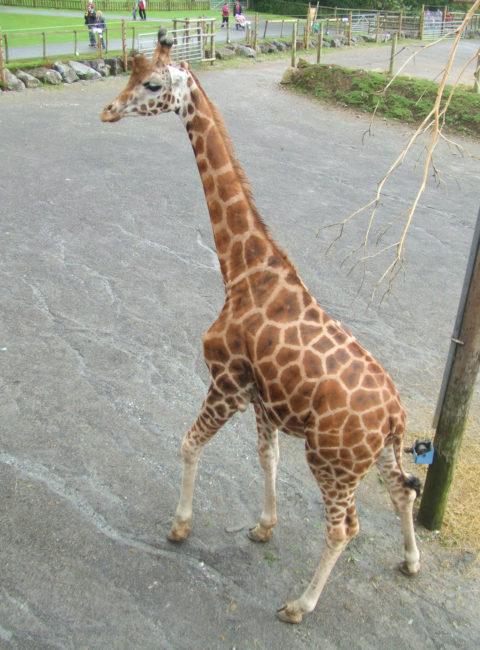 Giraffe at Folly Farm Zoo, near Saundersfoot, Wales