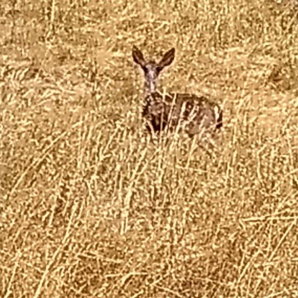 Fallow Deer, Bear Valley, Point Reyes, California, USA