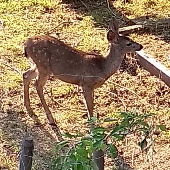 Fallow Deer, Point Reyes National Seashore, California, USA