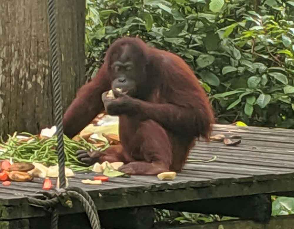 Orangutan at feeding platform in Sepilok Rehabilitation Centre in Borneo