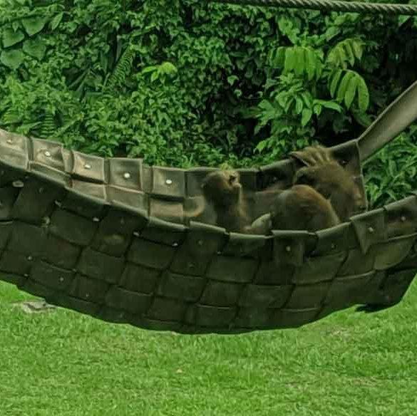 Junior orangutan playing in hammock at Sepilok Rehabilitation Centre in Borneo