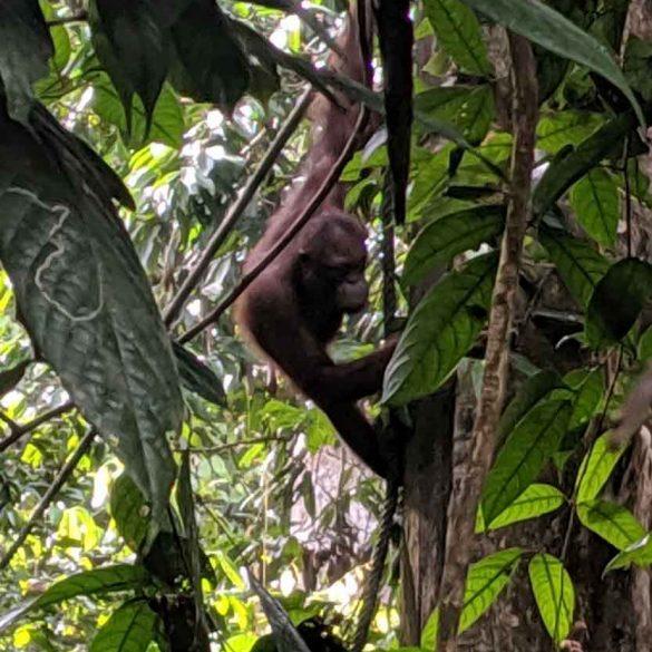 Sepilok Orangutan climbing amongst rainforest trees in Borneo