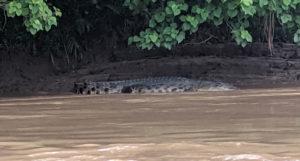 Large Crocodile, crocodile, Kinabatangan River, Borneo