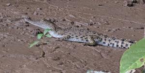 Baby crocodile, Kinabatangan River, Borneo