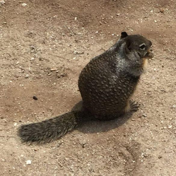 Rock Squirrel, Grand Canyon