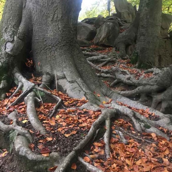 Tree Roots in Autumn, Virginia Water Lake, Egham, Surrey, UK