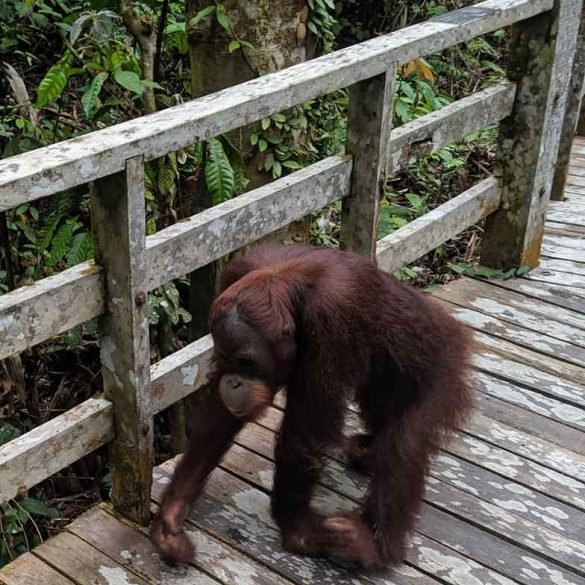 Orangutan encounter on the boardwalk at the Sepilok Rehabilitation Centre in Borneo