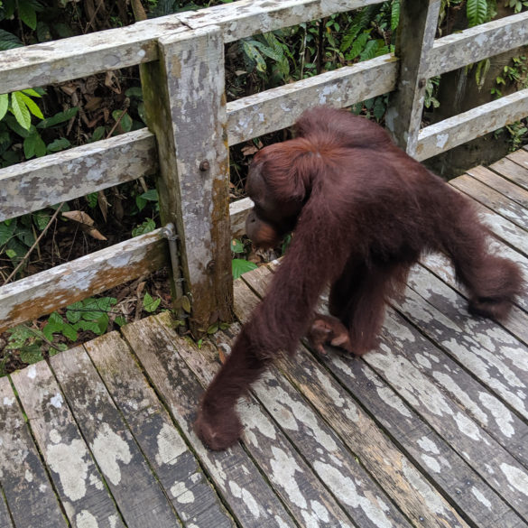 Orangutan encounter on the boardwalk at the Sepilok Rehabilitation Centre in Borneo