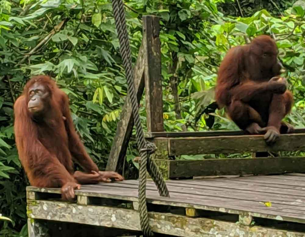 Two orangutans at feeding platform in Sepilok Rehabilitation Centre in Borneo