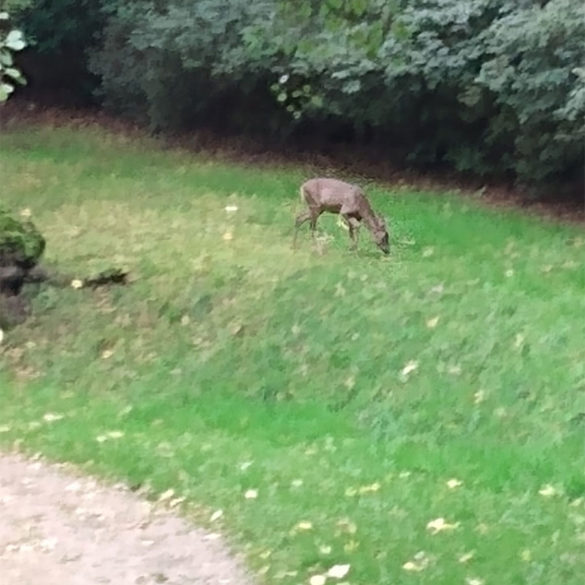 Deer, Virginia Water Lake, Egham, Surrey, UK