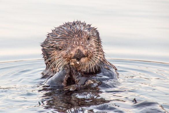 wild sea otter feeding