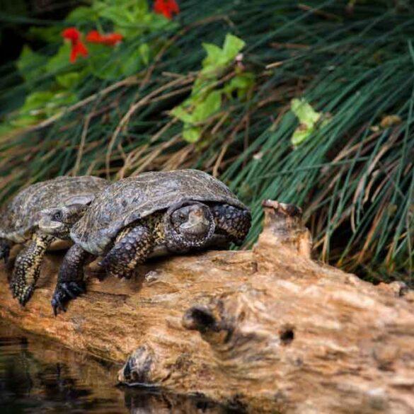 Two brown turtles, Monterey Aquarium in California