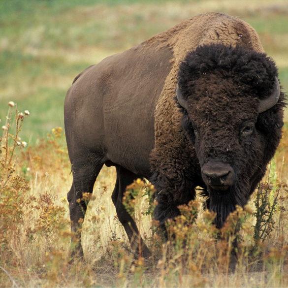Bison at golden Gate Park, , San Francisco, California
