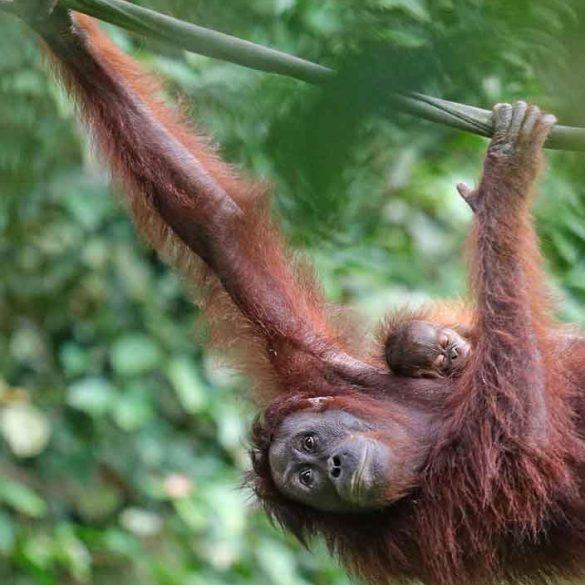Mother and baby Orangutan climbing rope,