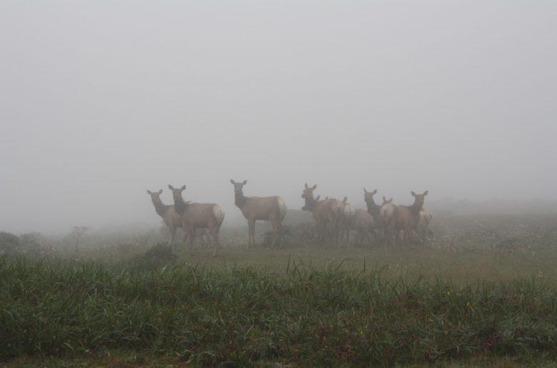 Deer at Point Reyes National Seashore, California, USA