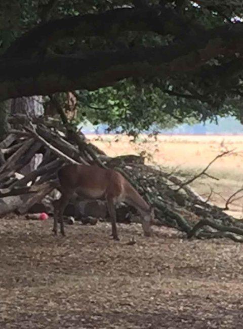 Deer at Bushy Park, Surrey