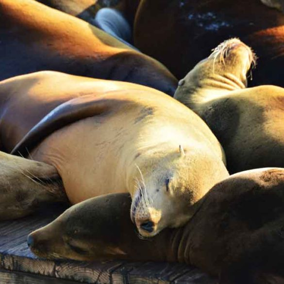 Sleeping Sea Lions Pier 39, San Francisco, California
