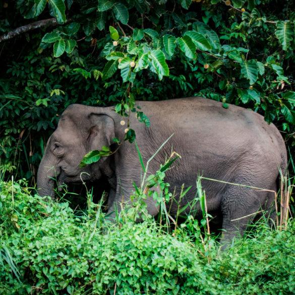 Borneo Pygmy Elephant, Kinabatang River, Borneo