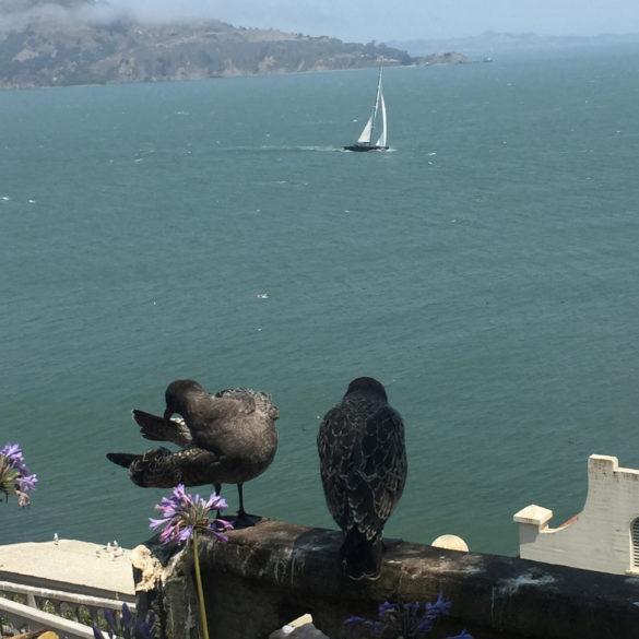 Seabirds at Alcatraz Island overlooking Angel Island