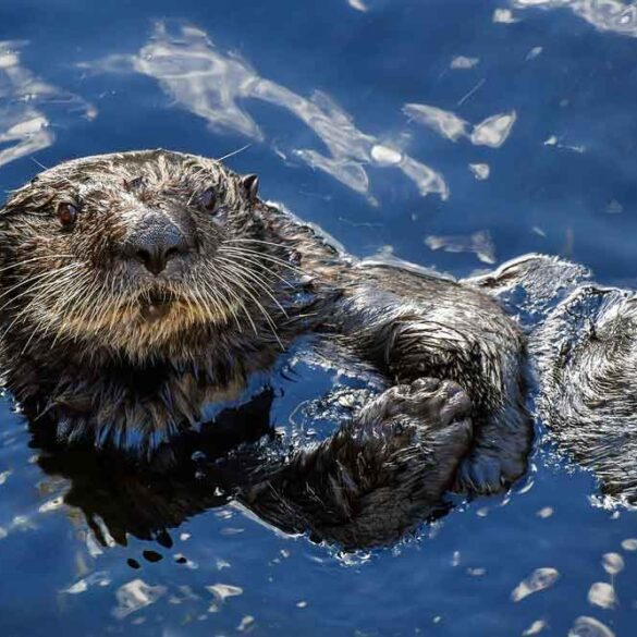 Sea Otter swimming on his back