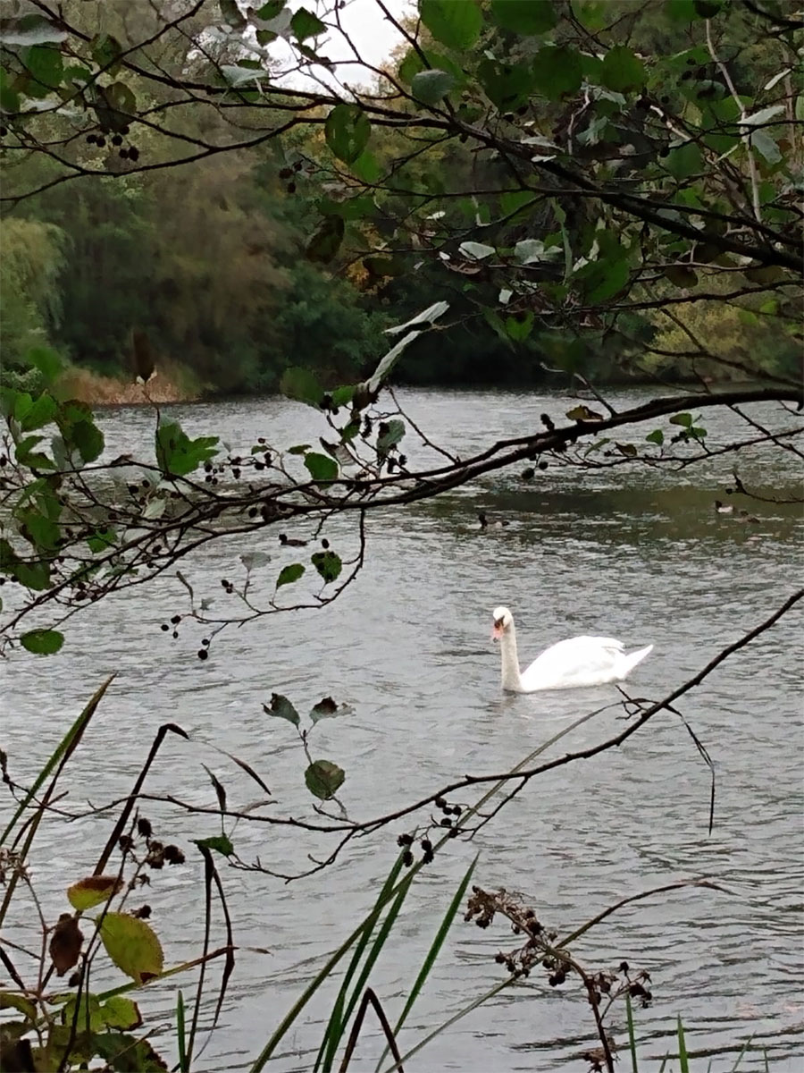 Swan on Virginia Water Lake, Egham, Surrey, UK