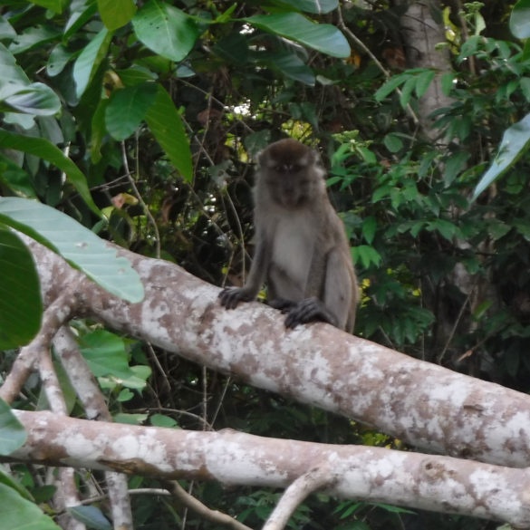 More Monkeys, Kinabatangan River, Borneo