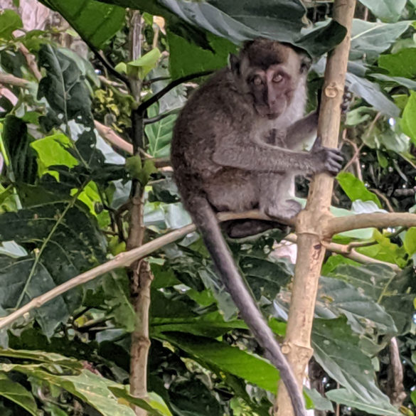 Monkey in tree, Kinabatangan River, Borneo