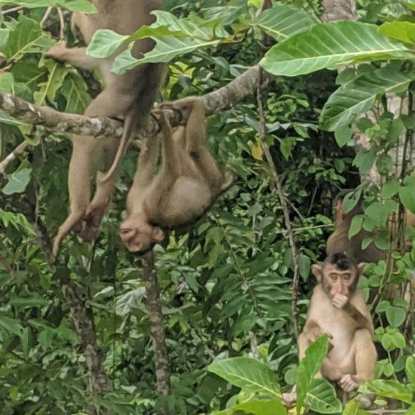Rainforest Monkeys, River Kinabatangan, Borneo
