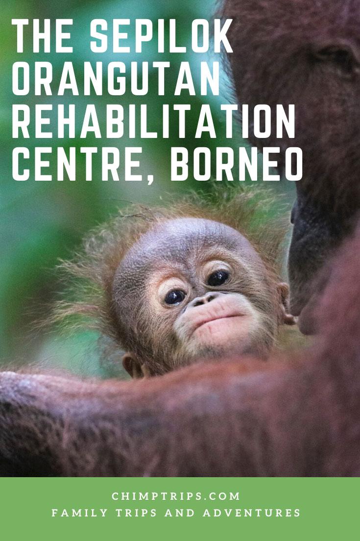 CHIMPTRIPS - The Sepilok Orangutan Rehabilitation Centre, Borneo