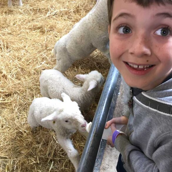 Small boy feeding baby lamb with bottle at the Cotswold Farm Park Animal Barn