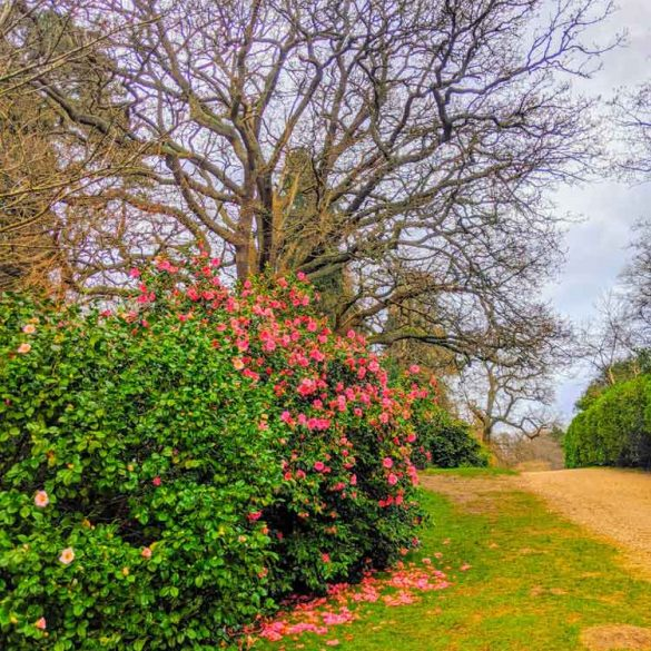 Flowering bushes at Valley Gardens at Virginia Water, Surrey, England