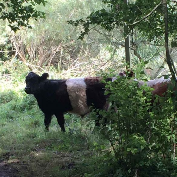 two cows in woods during a hike at Cotswold Water Park