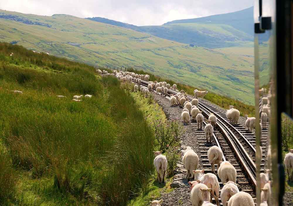 Snowdonia sheep on railway line