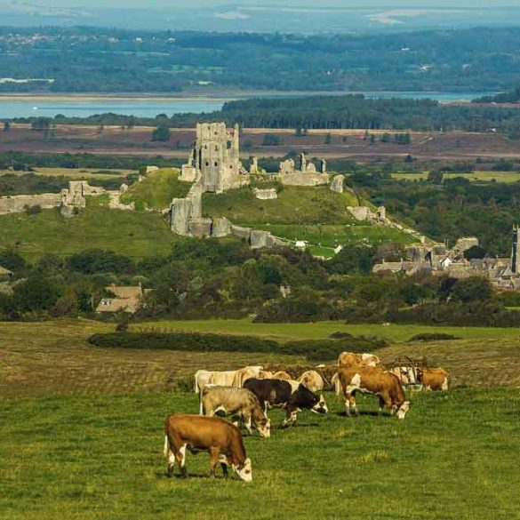 view of Corfe Castle across field of cows, Dorset, England