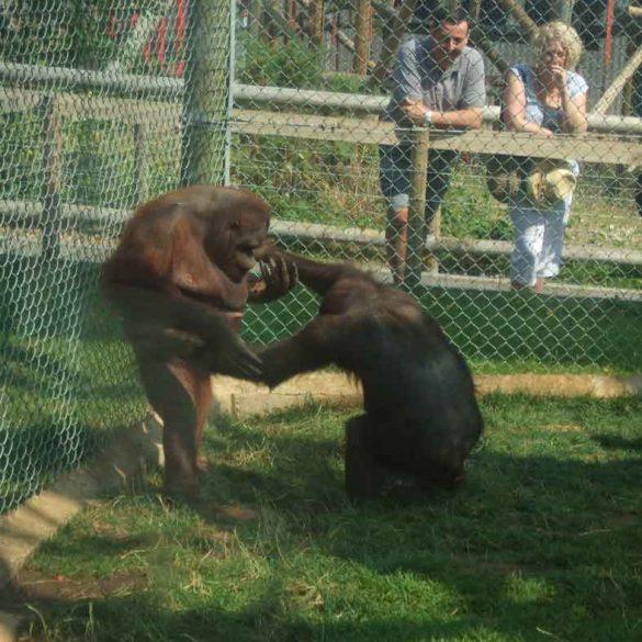 Two Orangutans play at Monkey World, Dorset, England