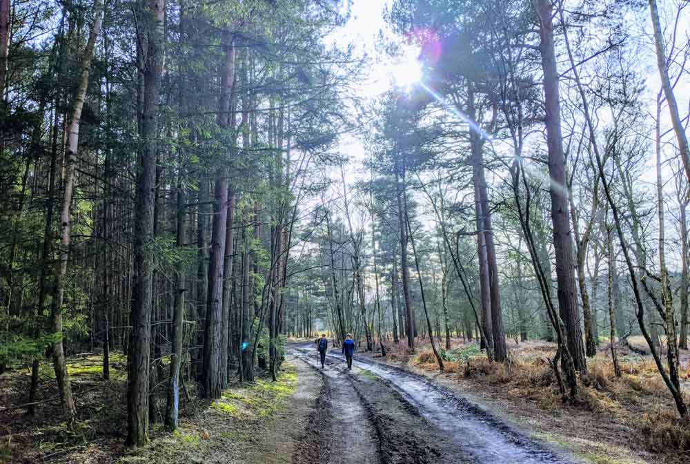 Walking in Swinley Forest, Berkshire, England