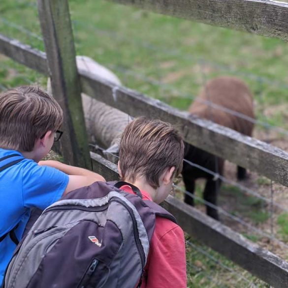 Boys talking to sheep at Chilcomb on the South Downs Way
