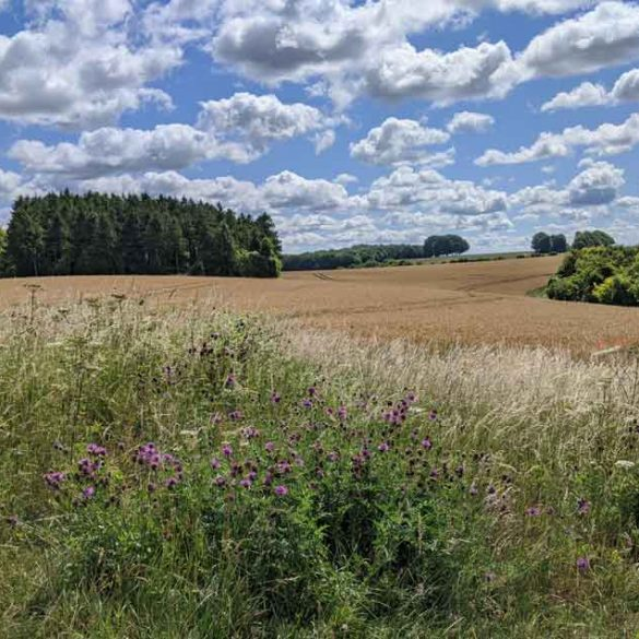 Blue sky filled with fluffy white clouds, looking over fields to woods on the South Downs Way