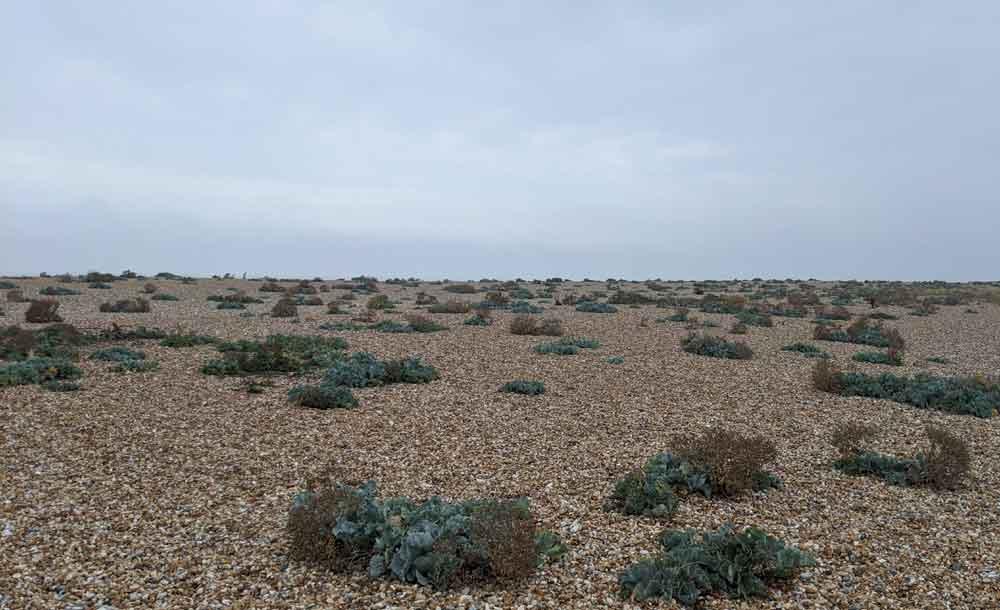 Rare Plants on Shingle Beach