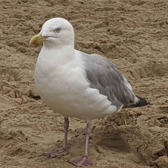 Cheeky seagull, Camber Sands, East Sussex, England
