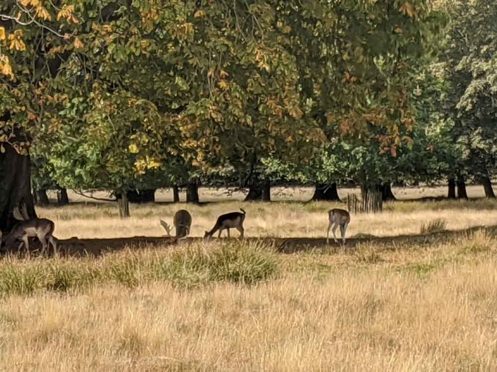 Deer's grazing in Deer Park Petworth House, Sussex