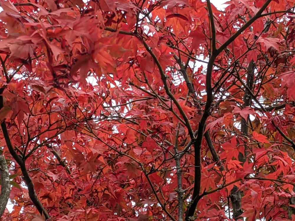 Georgous Reds of Autumn leaves at Winkworth Arboretum, Goldaming, Surrey
