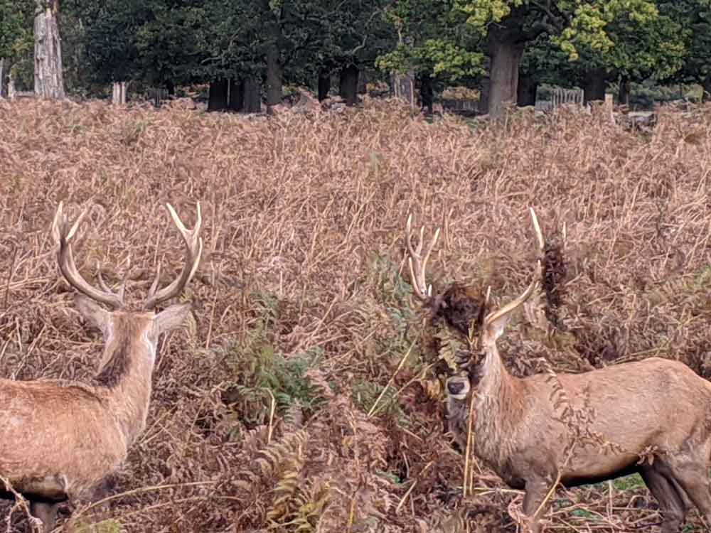 Two Stag Deer after rutting, Bushy Park, London, UK