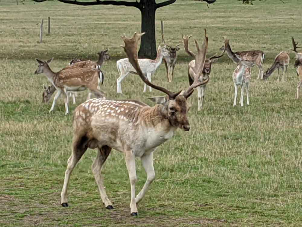 Fallow Stags at Richmond Park, London, UK