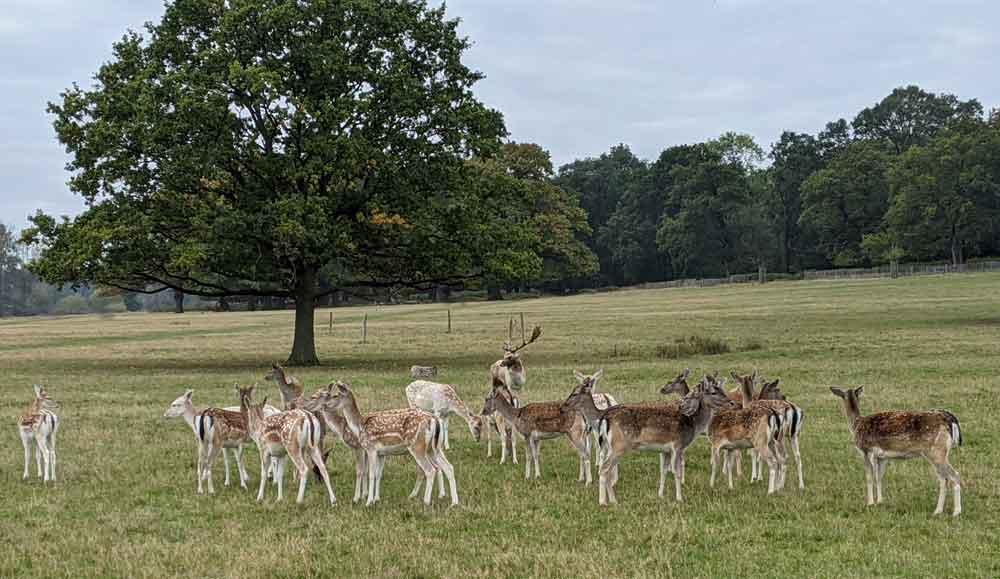 Herd of Fallow Deer Richmond, London, UK