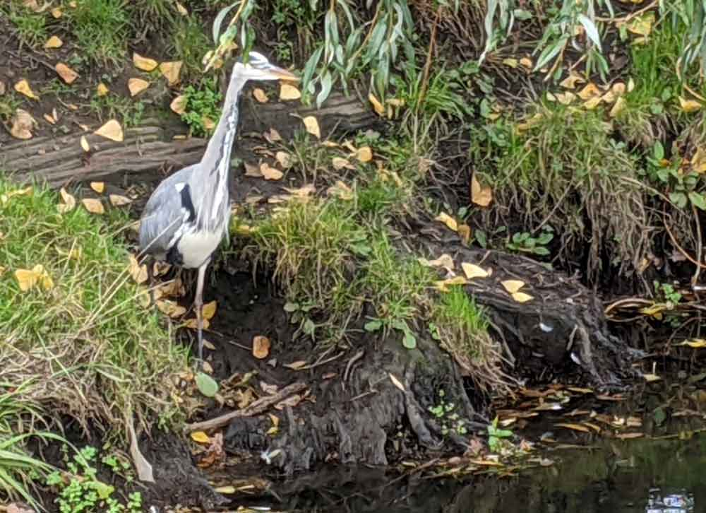 Heron at Richmond Park, London, UK